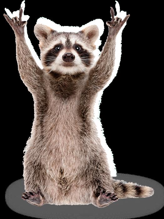 raccoon removal york sc